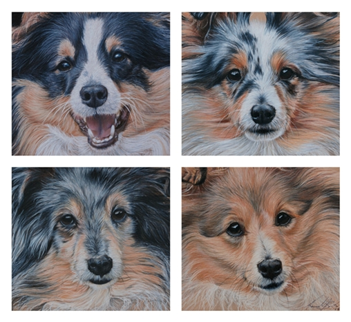 4 Shetland Sheepdog pet portraits created in Coloured pencils