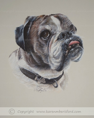Male brindle Boxer dog in Coloured pencil