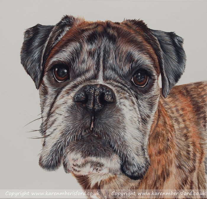Male fawn boxer dog pet portrait completed in coloured pencils by UK artist Karen M Berisford