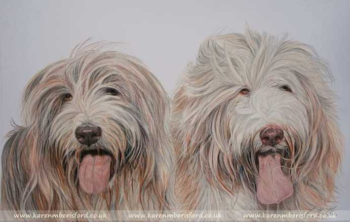 Bearded Collie portrait in Coloured pencils