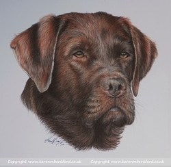 Chocolate Labrador completed in Coloured pencils by UK Artist Karen M Berisford