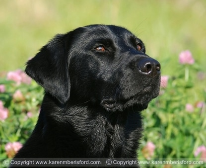 Stunning photo of a Black Labrador sat in pink flowers