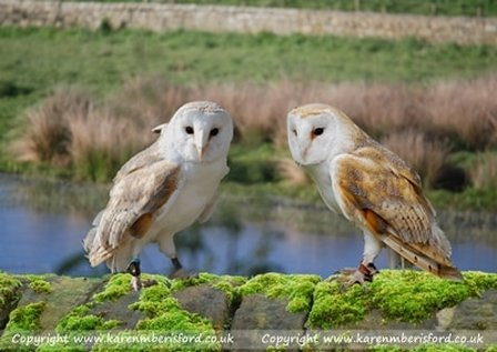 Barn Owls sat on a moss covered wall in front of a body of water at Cresswell in Northumberland