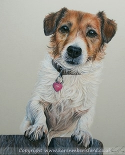 Jack Russell pet portrait created in Coloured pencils