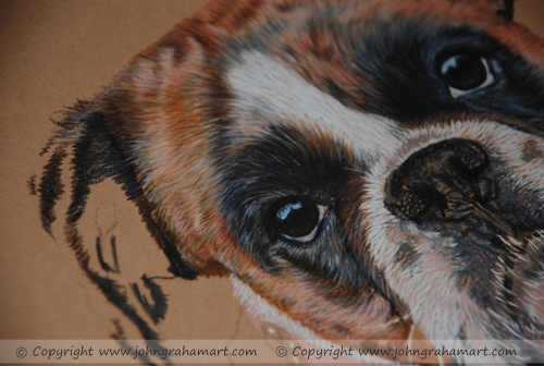 Progress of a brindle boxer completed in coloured pencils
