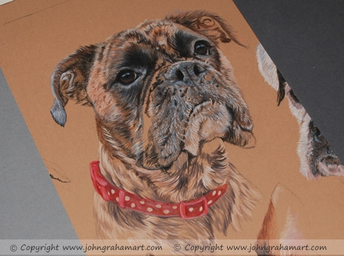 Progress image of a female brindle Boxer being completed in Coloured pencils