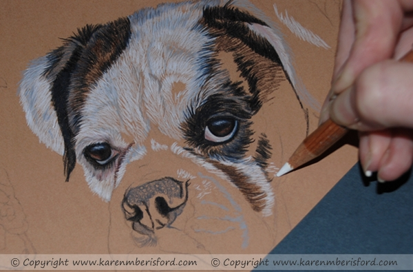 Progress of a Coloured pencil portrait of a White boxer with brown patch over eye