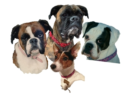 Mock up photograph of 3 Boxer dogs and a Jack Russell created for a bespoke pet portrait in Coloured pencils