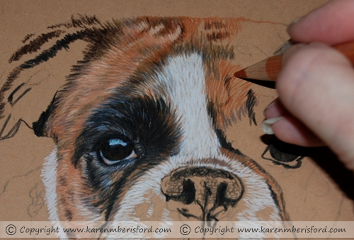 Progress 1 of a female brindle boxer completed in coloured pencils