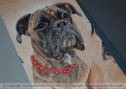 progress of a female brindle boxer in coloured pencils