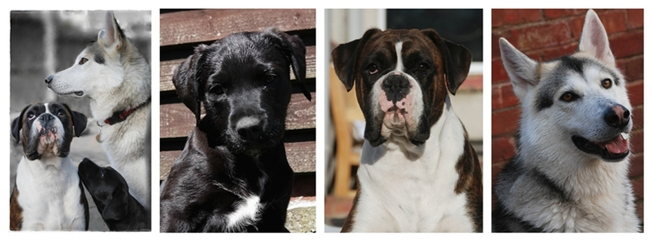 Photographs of A female Brindle Boxer, A female Black labrador cross dog and a male Northern Inuit photo used for artistic multiple portraits example