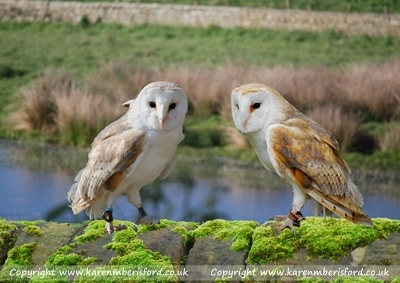 2 Barn Owls sat on a wall in Cresswell, Northumberland