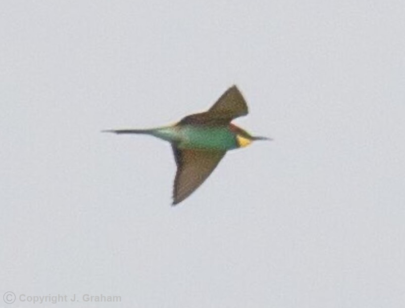 European Bee-eater seen in Newbiggin by the Sea, Northumberland, UK