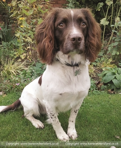 Springer Spaniel sat on grass in front of border plants