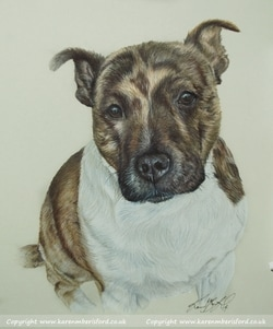 Brindle Staffordshire Bull Terrier portrait in Coloured pencils