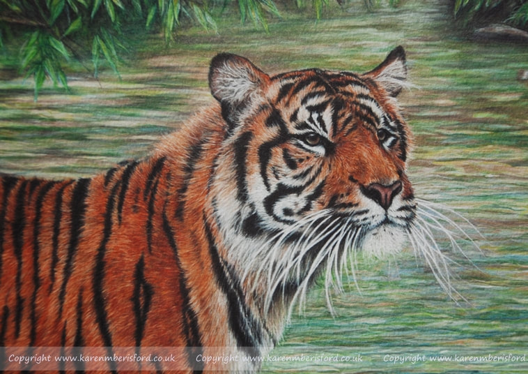 Sumatran Tiger giclee print from a Coloured Pencil portrait