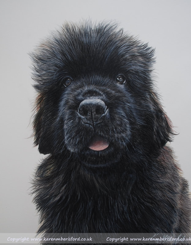 young Newfoundland dog Coloured pencil drawing