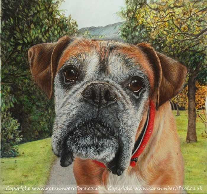 Boxer dog Coloured pencil drawing