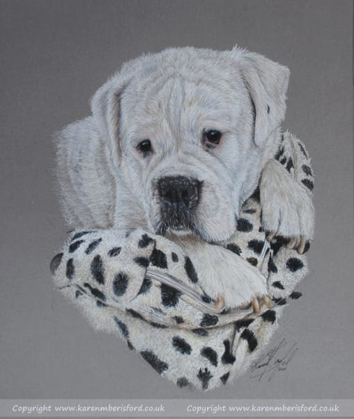 white boxer dog on a spotty pillow drawn in coloured pencils