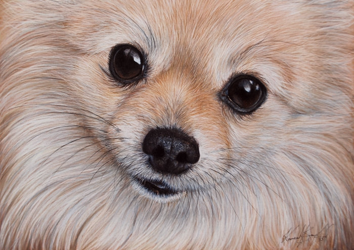 Pomeranian dog coloured pencil drawing
