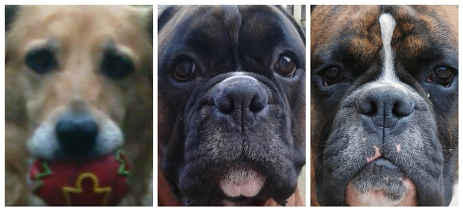Labrador/Collie cross and 2 Brindle Boxer photographs side by side for photographic detail comparison