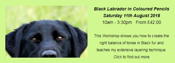 Black Labrador photo for a coloured pencil workshop in chesterfield, derbyshire, uk