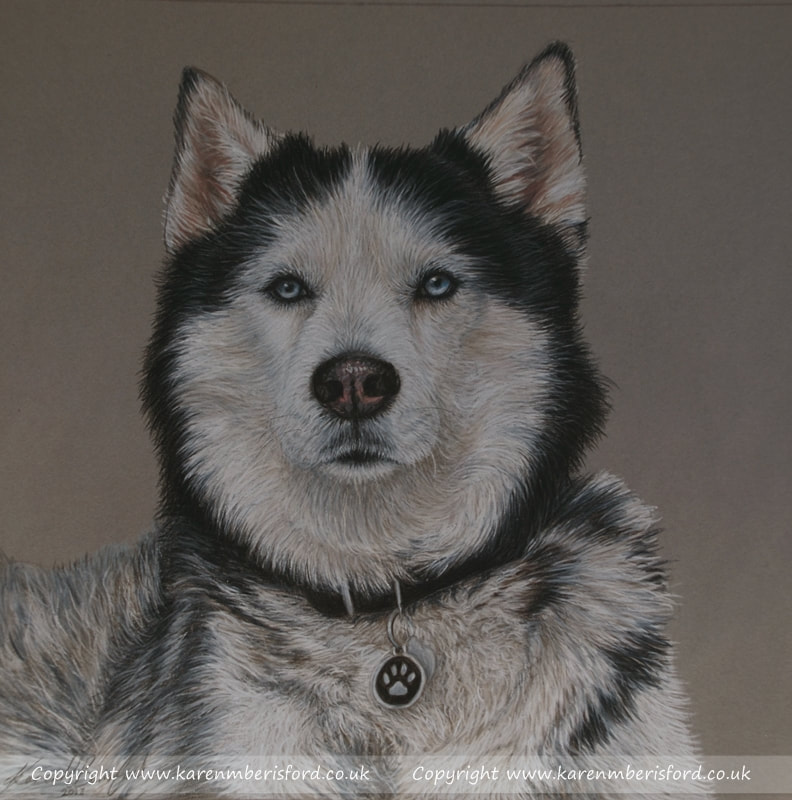 Alaskan Husky in coloured pencils