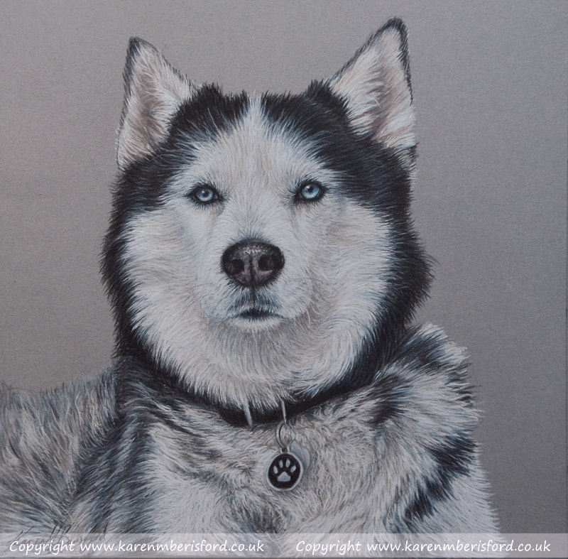 Alaskan Husky coloured pencil portrait