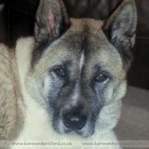 Photograph of a Japanese Akita laid down taken with flash