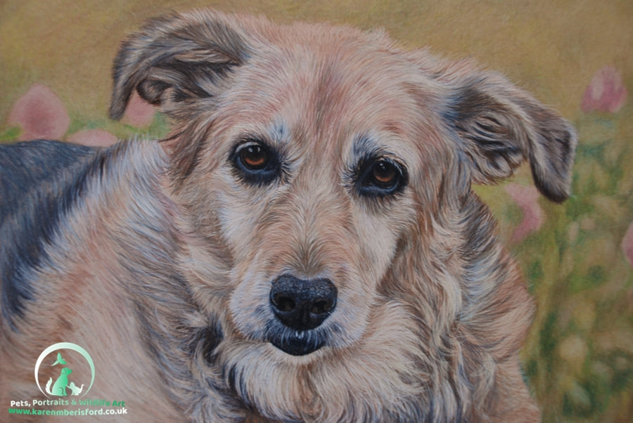 Coloured pencil drawing of a labrador collie cross