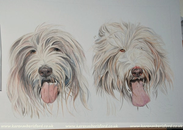 progress of Bearded Collie's coloured pencil portrait