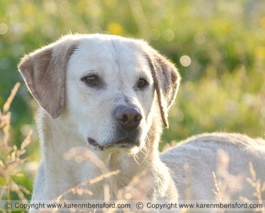 photograph of a yellow labrador sat in grasses