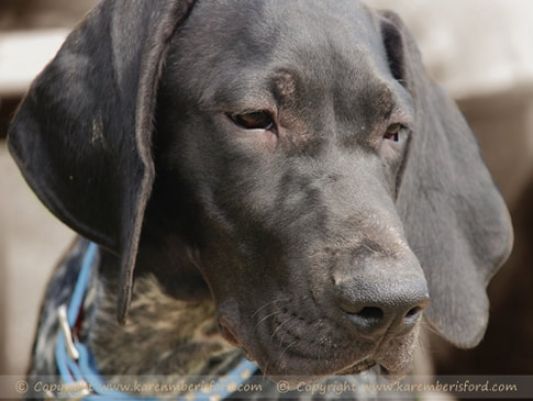 Photograph of a German Shorthaired pointer with blue collar