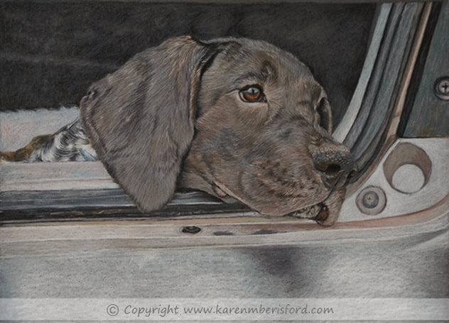 German shorthaired pointer pet portrait in coloured pencils