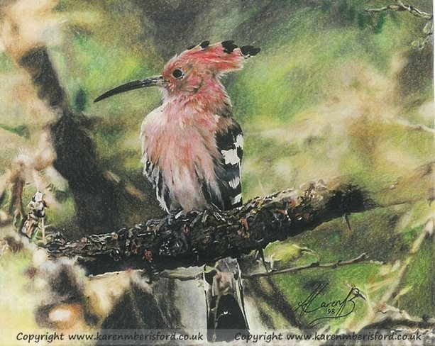Hoopoe bird drawn in Coloured pencils