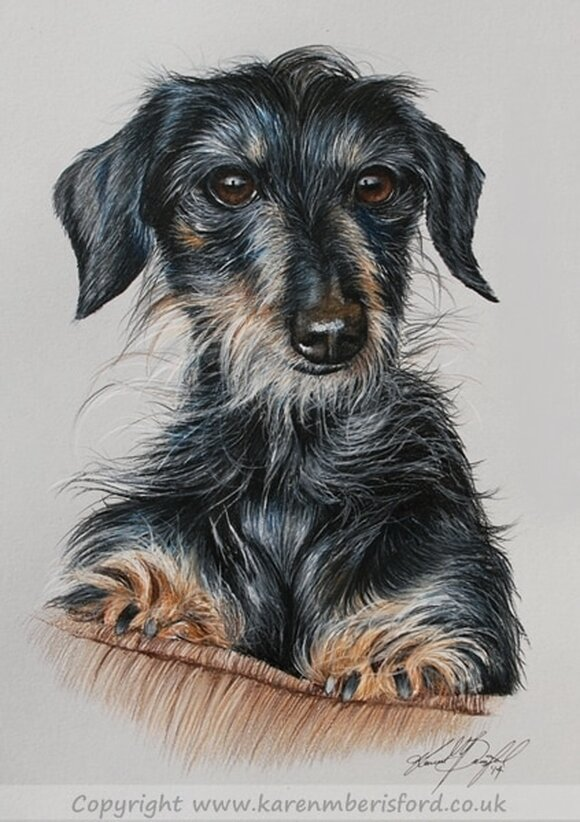 Male Black long haired daschund dog Pet portrait in Coloured pencils by UK artist Karen M Berisford