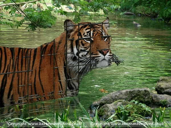 Sumatran Tiger in green water and surrounded by greenery