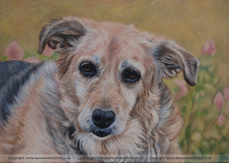 Labrador/collie cross dog Coloured pencil drawing