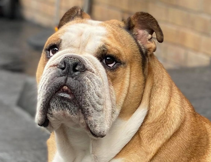 Red English Bulldog