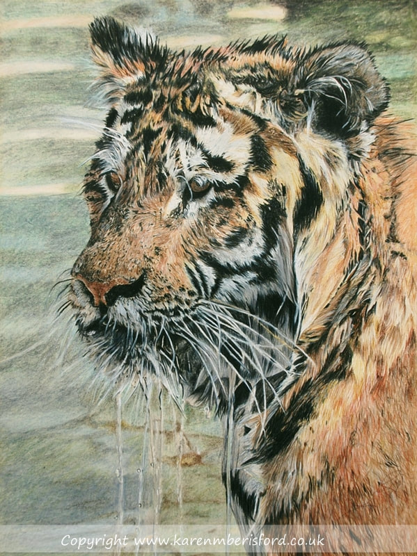 Male Siberian Tiger in water created in Coloured pencils