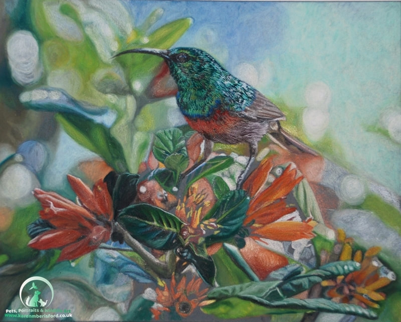 Southern double collared sunbird created in Coloured pencils