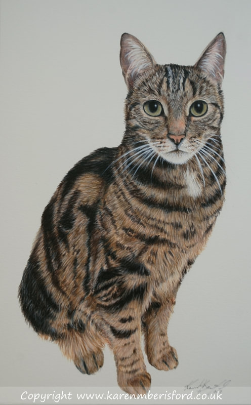Mackarel cat Coloured pencil drawing