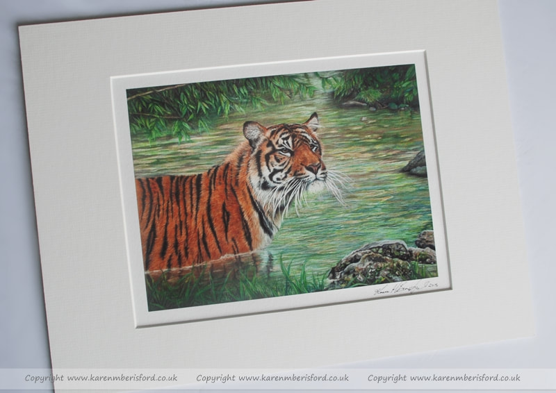 Giclee print of an Sumatran Tiger created in Coloured pencils and mounted in an Ivory mount