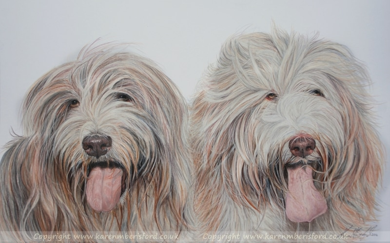 Coloured pencil portrait of Bearded collies on white paper