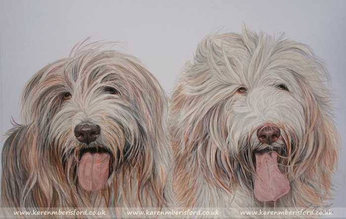 Bearded collies in coloured pencils