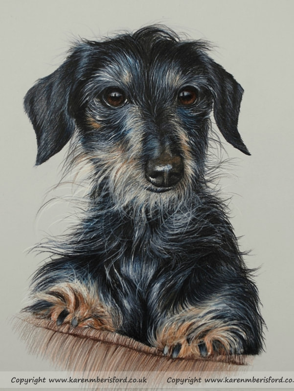 Long haired Dachshund Coloured pencil drawing